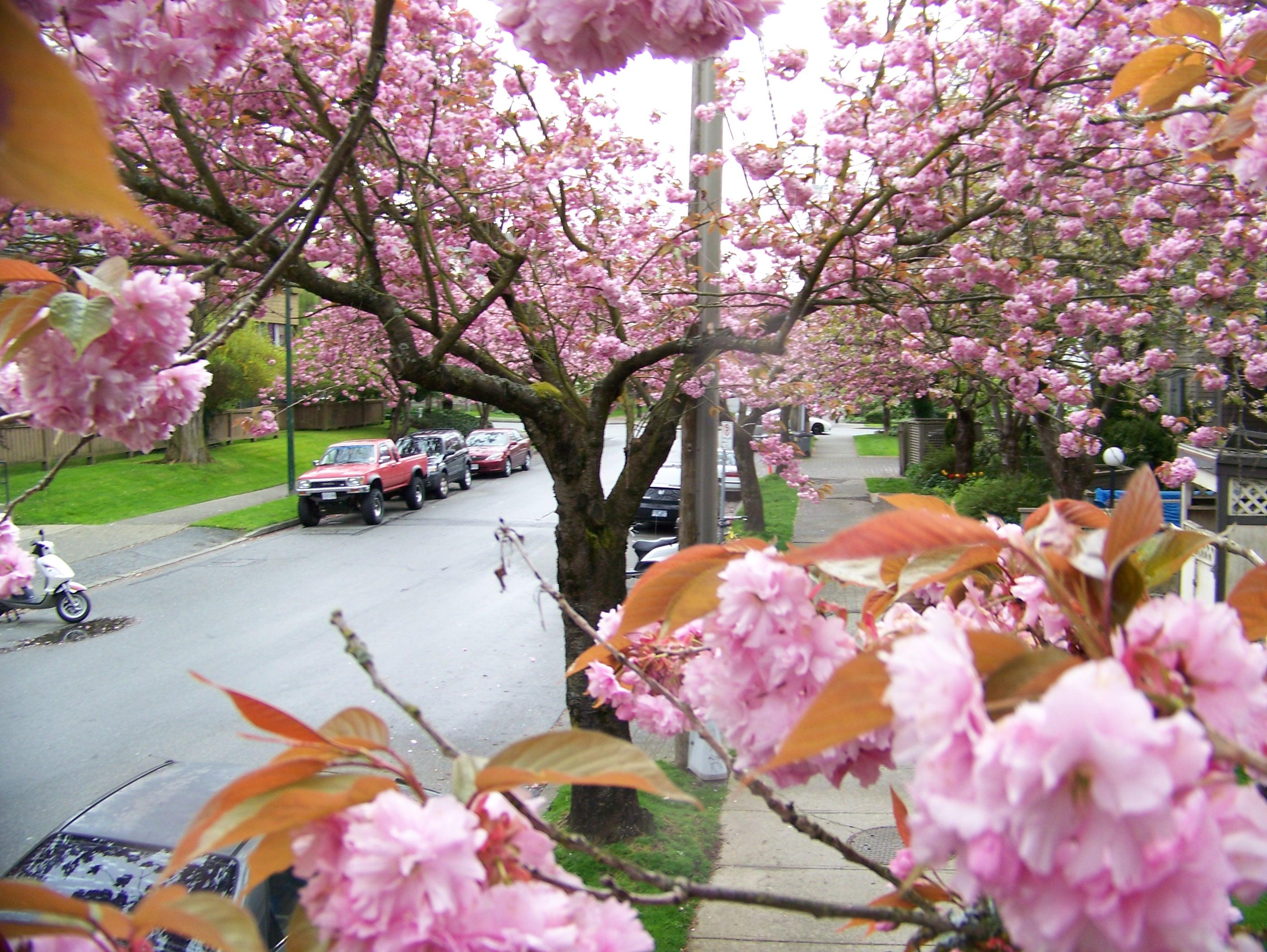 Vancouver Cherry Blossom Season